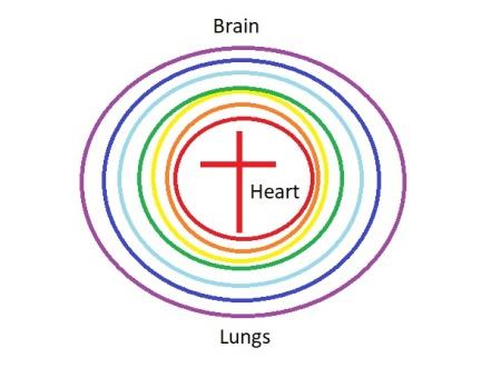 brain lungs heart