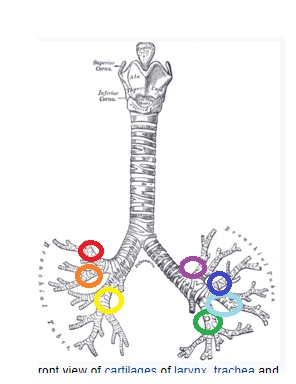 the 7 parts of the lungs